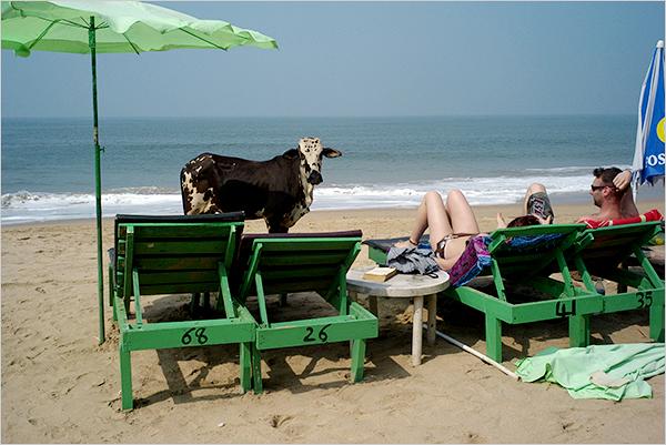 Cow on beach