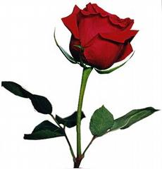 red rose_medium