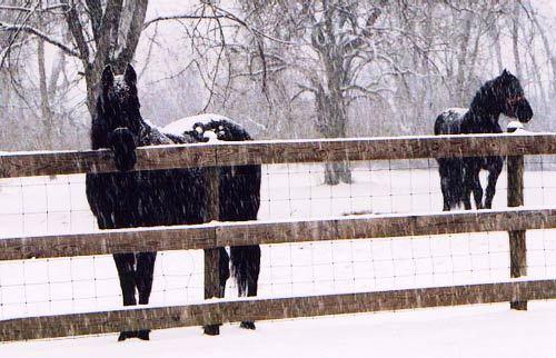 Snowhorses1